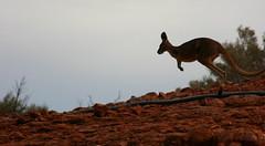 Kangaroo at Kata Tjuta