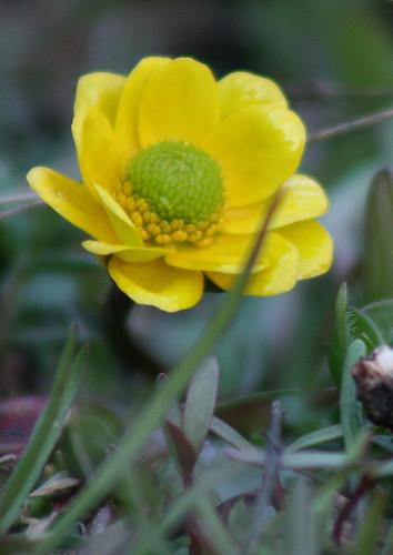 snow buttercup
