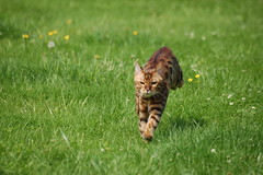 Running Bengal Cat