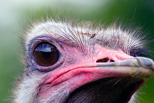 Image result for ostrich eye