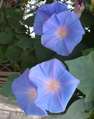 Blue morning glory  (asagao) flowers, Gifu, Japan