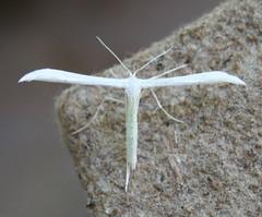 moth50