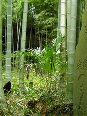 Bamboo grove at Kencho-ji