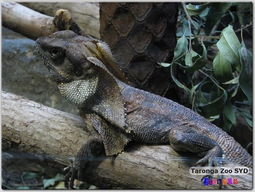 Taronga Zoo - Frill-necked Lizard
