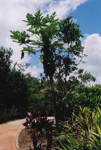 papaya tree?