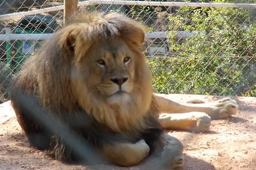 Dans la cage des lions