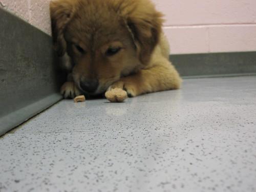"Collie/spitz puppies (aka ""Floofballs"")"