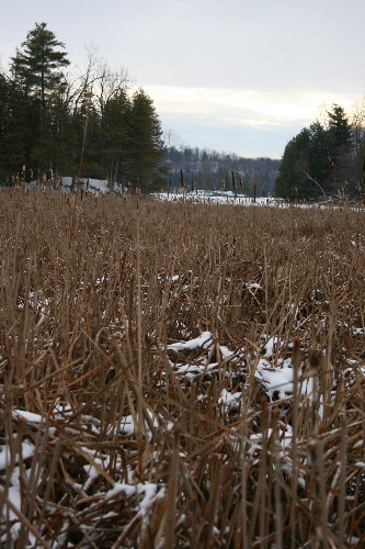Marsh in winter