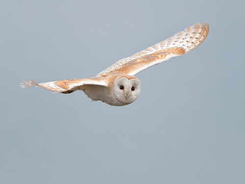 Barn Owl look_1