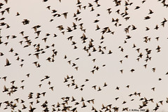 Starlings on Parade (3rd of 4 in series) - Amherst Island