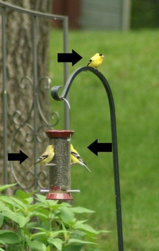 Spoiled Goldfinches