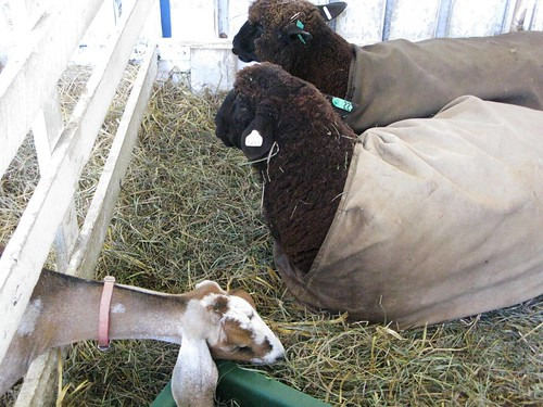 The sheep were not amused by this hay-stealing goat, but I was.