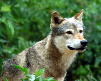 grey-wolf by copyright-free-photos.org.uk