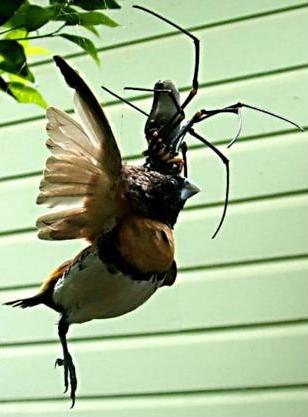 spidereatingbird1