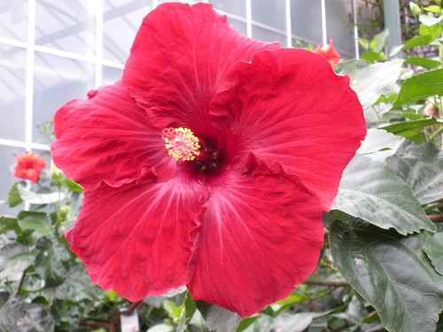 Hibiscus growing in a greenhouse (une serre) at Longwood Gardens