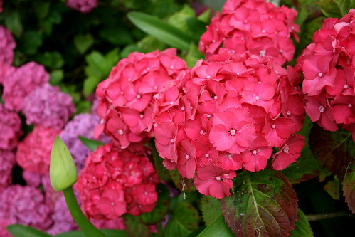 Fuchsia Hydrangeas. Love.