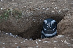 Penguin in burrow