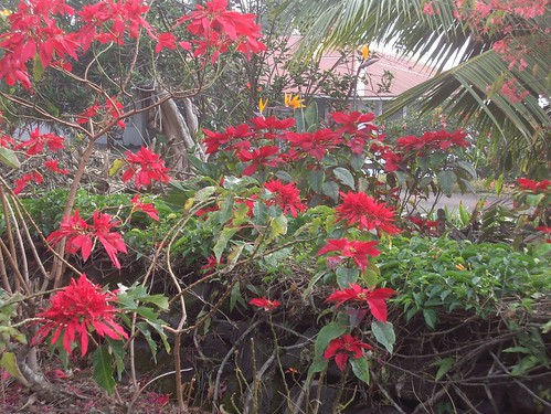poinsettias on keei drive