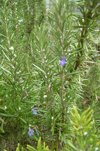 Rosemary blossoms