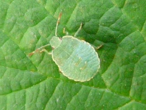 Common Green Shieldbug (nymph)