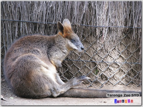 Taronga Zoo - Swamp Wallaby