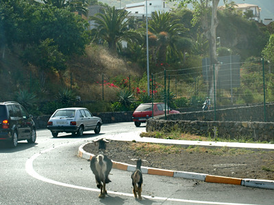 Goats in the road