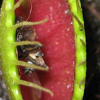 floare carnivora