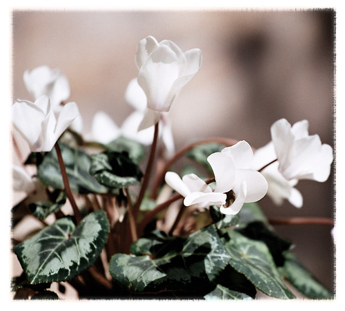 cyclamen_persicum_by_Anguissola by you.