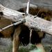 Lion -- DSCN4379