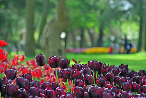 blac-red tulips, Istanbul Tulip Festival, Emirgan park of Istanbul, Pentax K10D