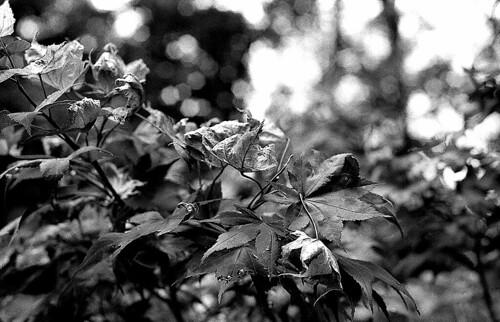 Japanese Maple. (Ilford HP5 Plus. Nikon F100. Epson V500.)