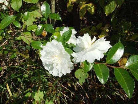 サザンカ(山茶花)白花~笹川流れ