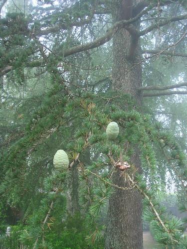 松果_像樹上長了一顆綠蛋 2