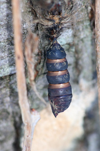Gypsy Moth pupa case
