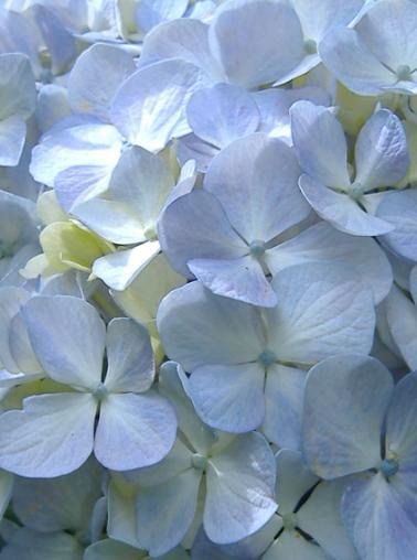 20070829212110-hortensia.jpg