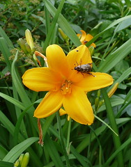 Beetle on day lily