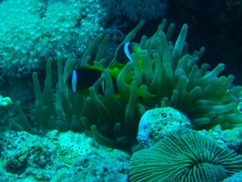 Pareja de pez payaso de dos bandas (Amphiprion bicinctus) en su anémona