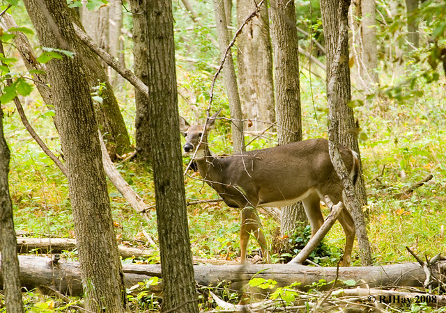 White-Tailed Deer - Kensington Park, Michigan