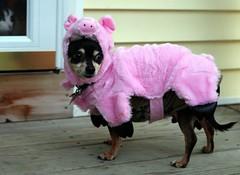 PPTT Petrifying Scooter Pig