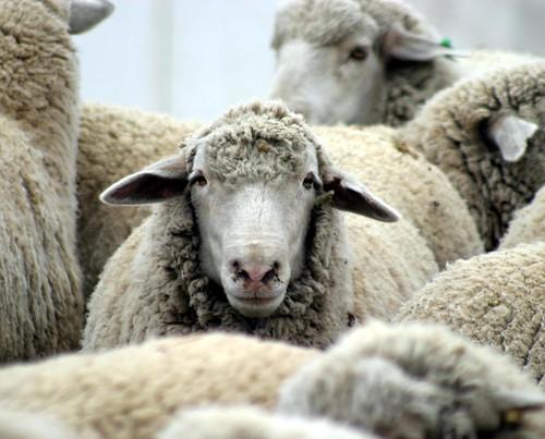 Sheep Face by brew ha ha.