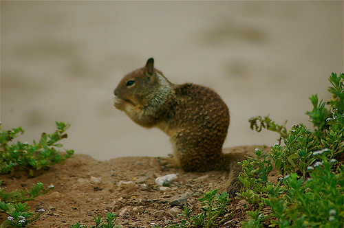 Noon Meal for Ground Squirrel by you.