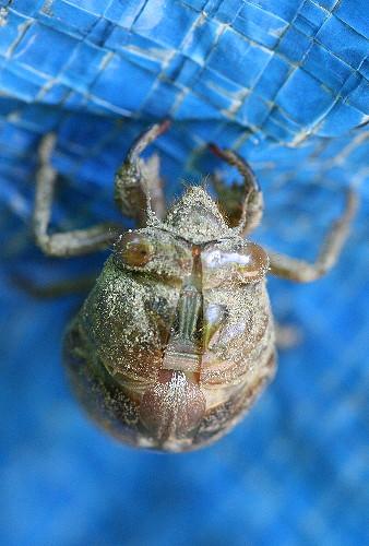 cicada15