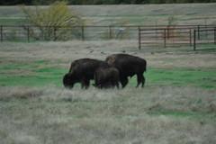 Hays Kansas town buffalo herd