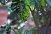 Tomato plant leaf with rain drop1