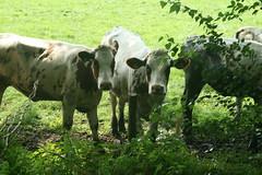 Cows in Twickel