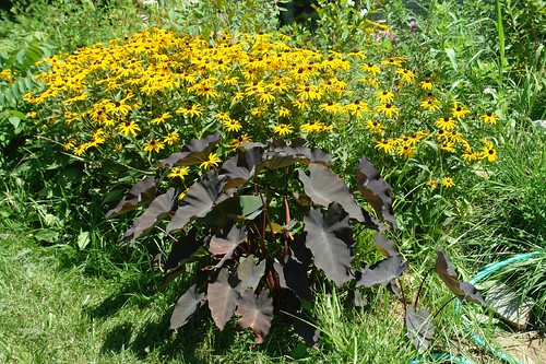 Elephant Ear and Rudbeckia
