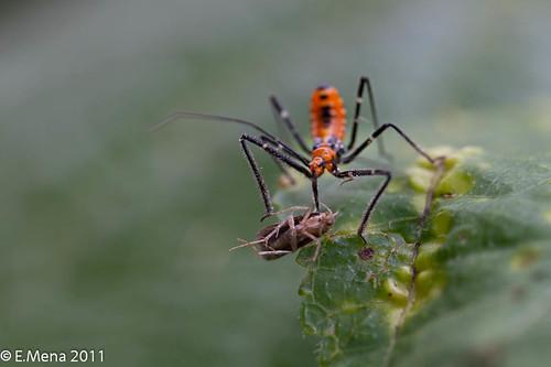 Ninfa asesina insecto