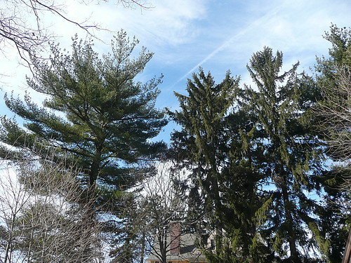 Pines with sky