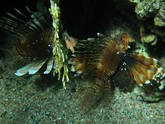 Peces escorpión / Lionfishes (Pterois miles)
