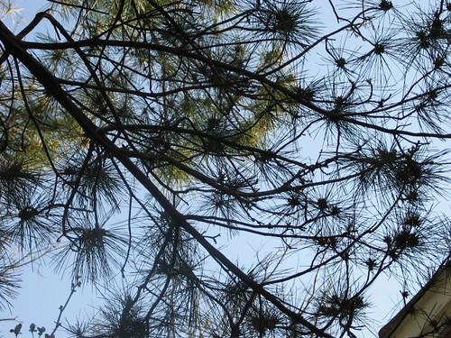 sky through pines